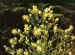 Centaurea messenikolasiana