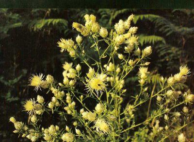 Το μοναδικό φυτό που βρέθηκε από επιστήμονες του Πανεπιστημίου Πατρών στον Μεσενικόλα.